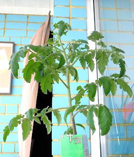 Немного переросшая рассада помидора