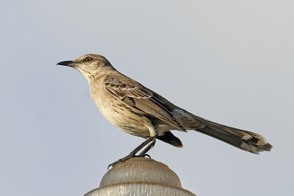Several Birds In Washington DC Whatsthisbird