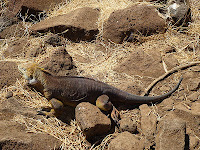 North Seymour Iguana with Burrows