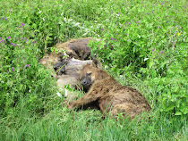 Surprisingly touching pix of male hyena mourning its deceased mate (head resting on her haunch)