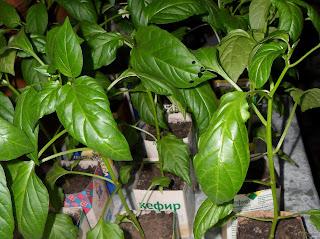 Повреждения листьев рассады перцев вредителями