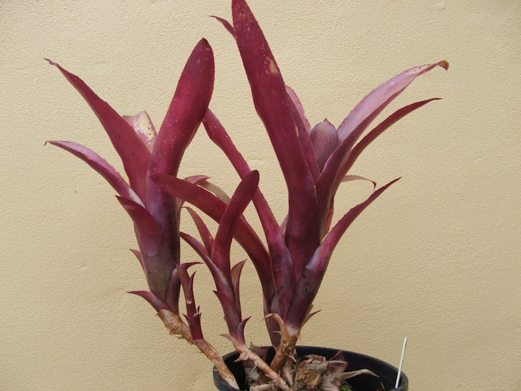 Billbergia Red Hot