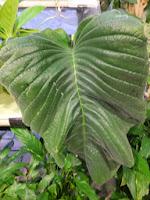 イワダバコ科の「ウシノシタ」は葉が一枚。