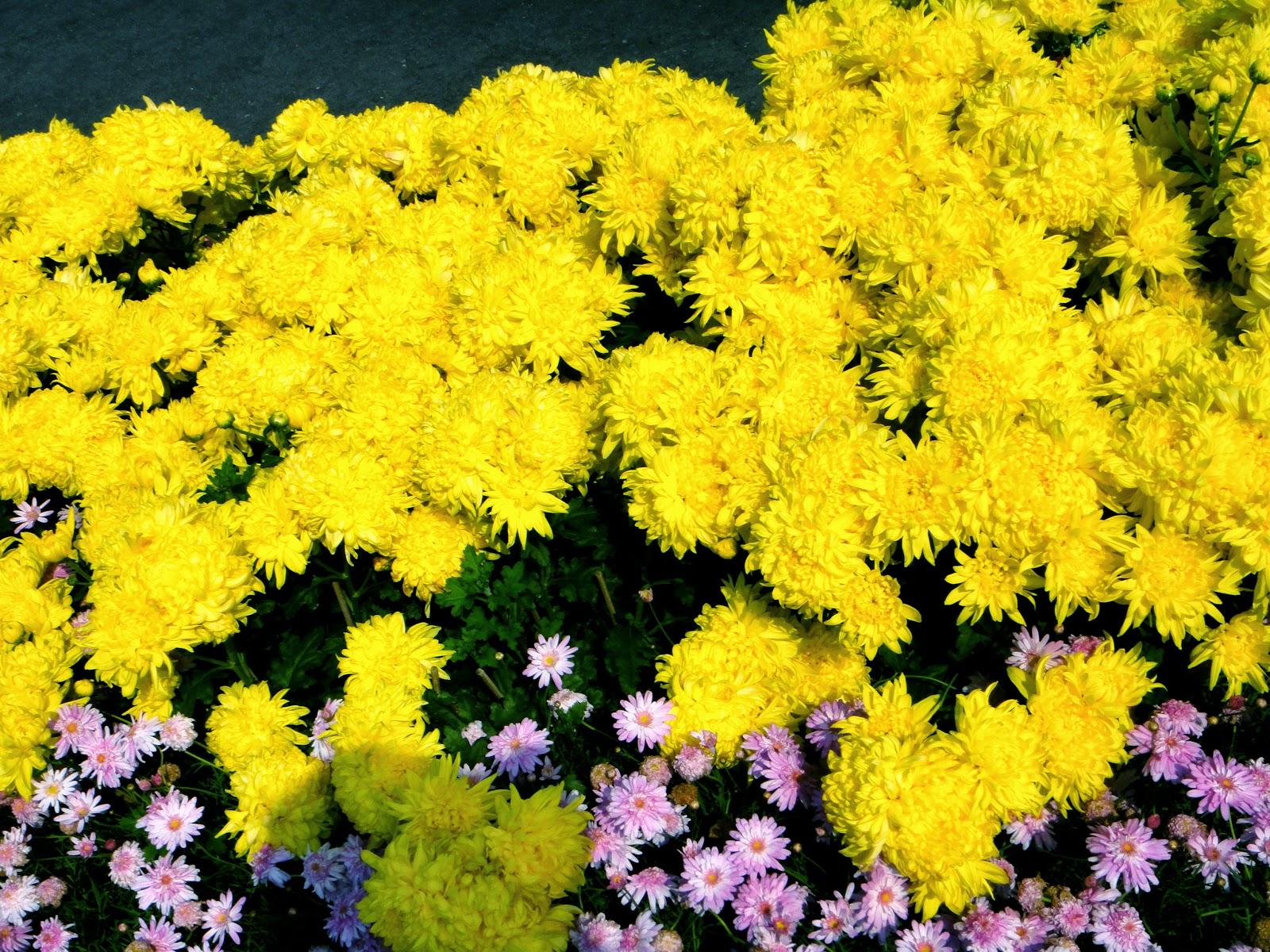 Yellow Flowers at Yangmingshan Spring
