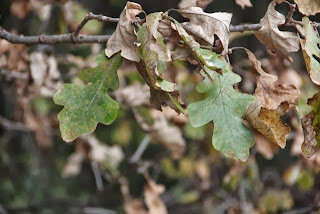 photo of white oak leaves