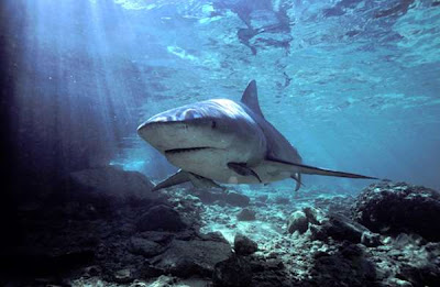 Bull shark Photos