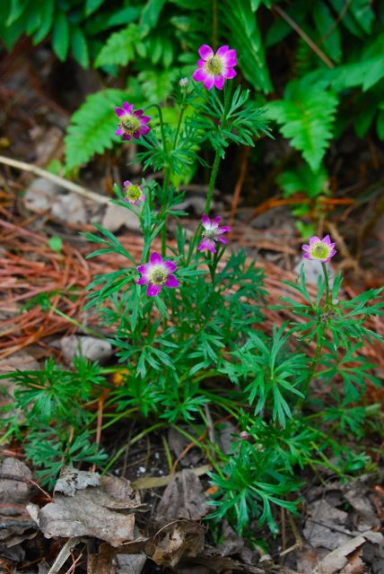 Anemone multifida 'Annabella Deep Pink' (also known as Anemone m. 'Rubra') in our Back Woodland Garden.