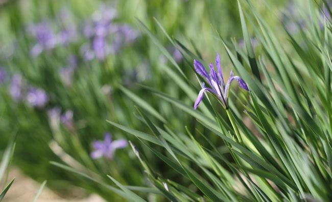 Iris lactea Flowers Pictures