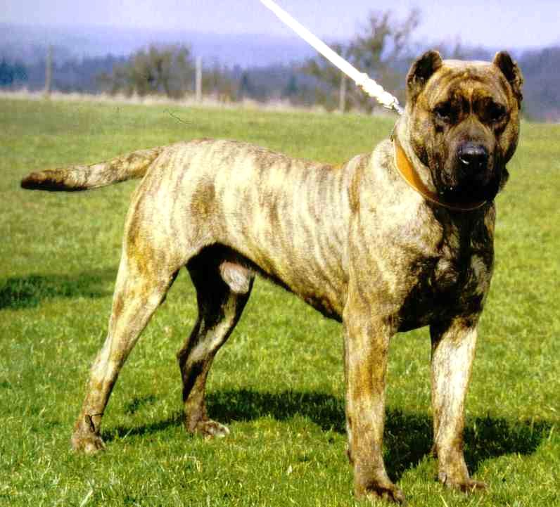 dogs info alano espanol dog breed