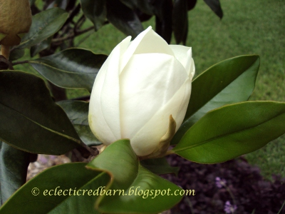Eclectic Red Barn: Magnolia Blooming Bud