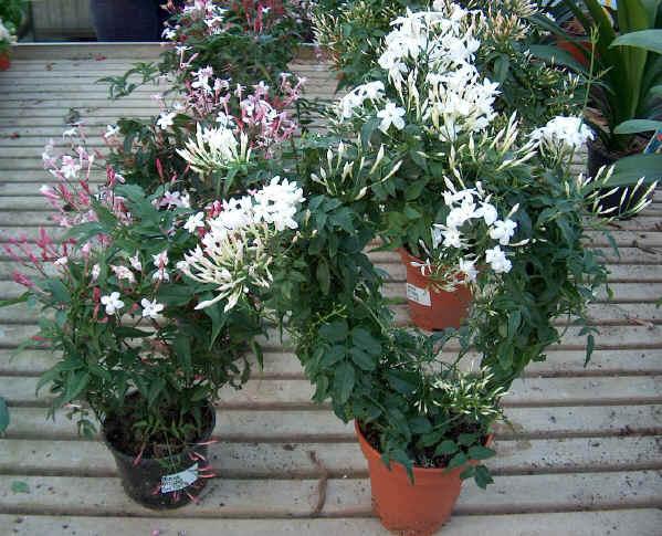 piante rampicanti il gelsomino giardino metropolitano