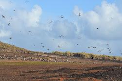 Giant petrel colony, Steeple Jason