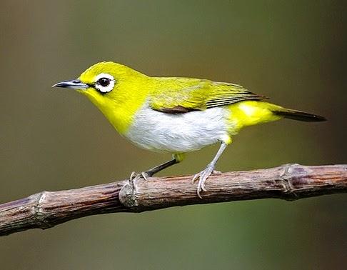 Gambar Cara Merawat Burung Pleci