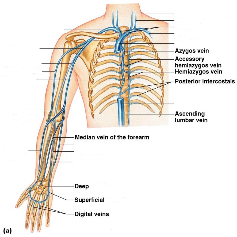 Veins Diagram Unlabeled - Block And Schematic Diagrams •