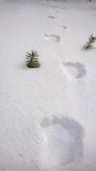 Karhunjälki keväältä 2014