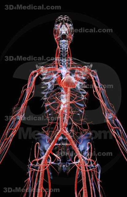 3d Cardiovascular System4