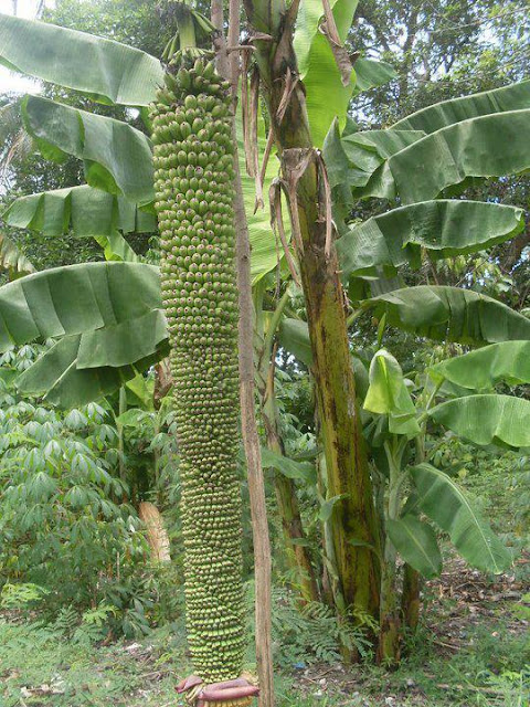 Amazing-Banana-tree+picture