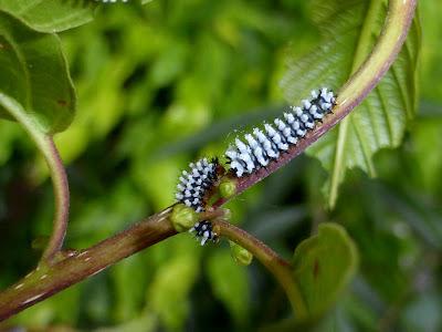 Epiphora mythimnia caterpillar