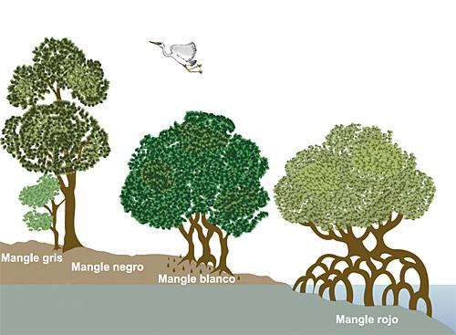 Ecocise tipos de mangle for Cuales son los tipos de arboles