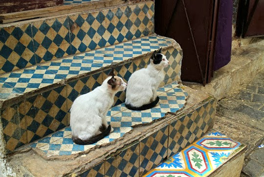 Cats of Fez