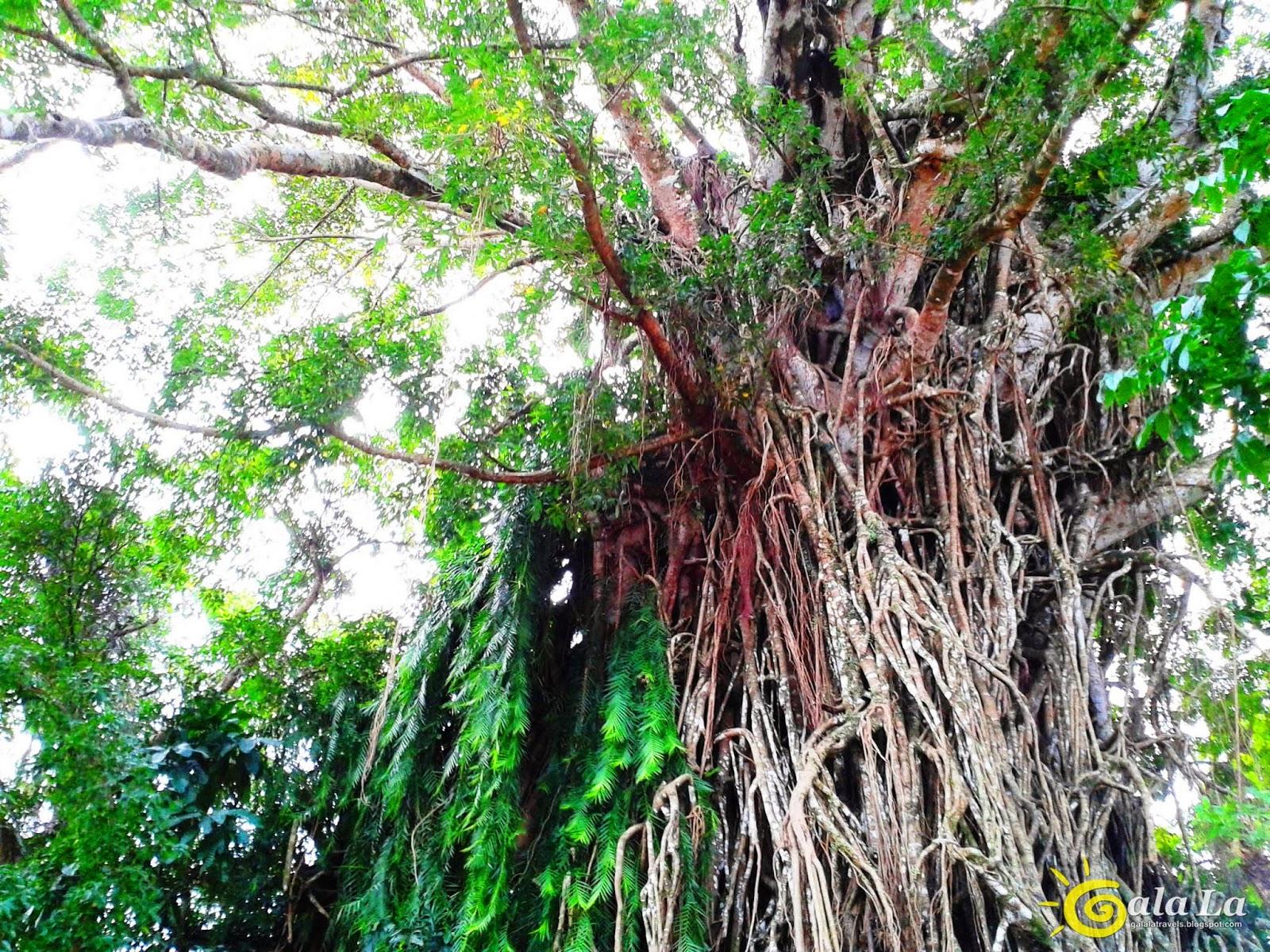 Balete Tree Drawing Balete Tree Largest