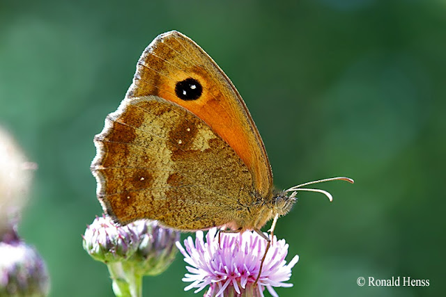 Schmetterlinge - Augenfalter - Rotbraunes Ochsenauge