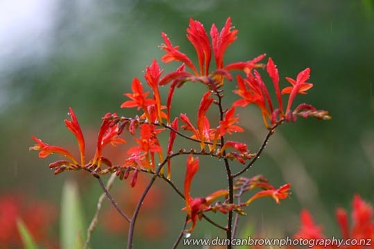 Flaming red flowers photograph
