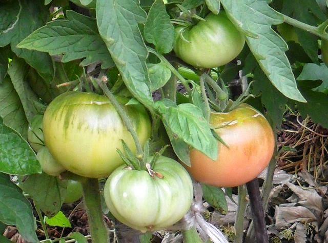 Первая помидорка поспевает!