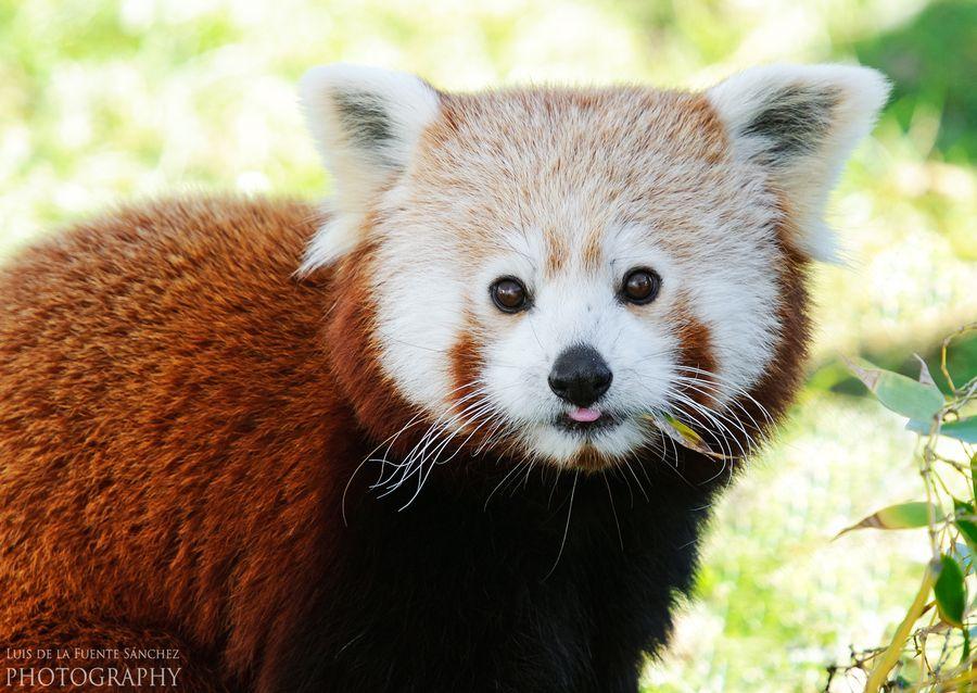 8. Red panda. by Luis de la Fuente Sánchez