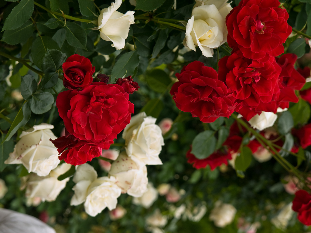 Garden Flowers Beautiful Rose Roses Nature Garden Flower Wallpaper