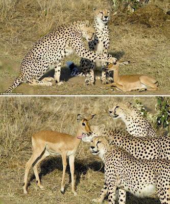 guepardos y gacela