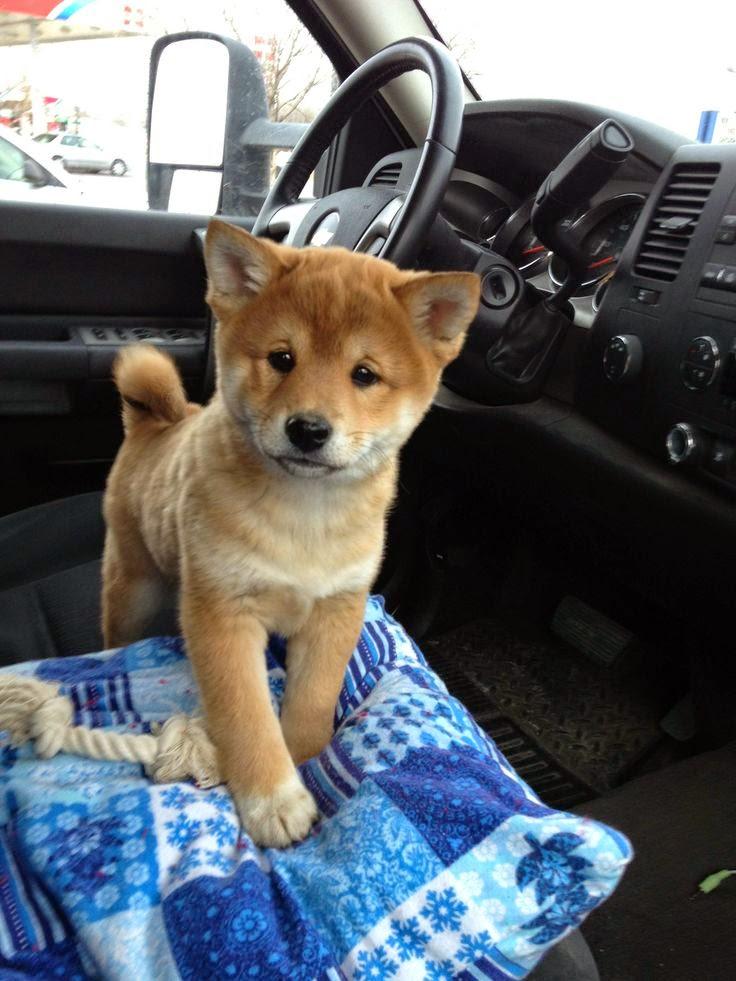 See more shiba inu puppy http://cutepuppyanddog.blogspot.com/