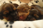 Current Litter born 2-25-11
