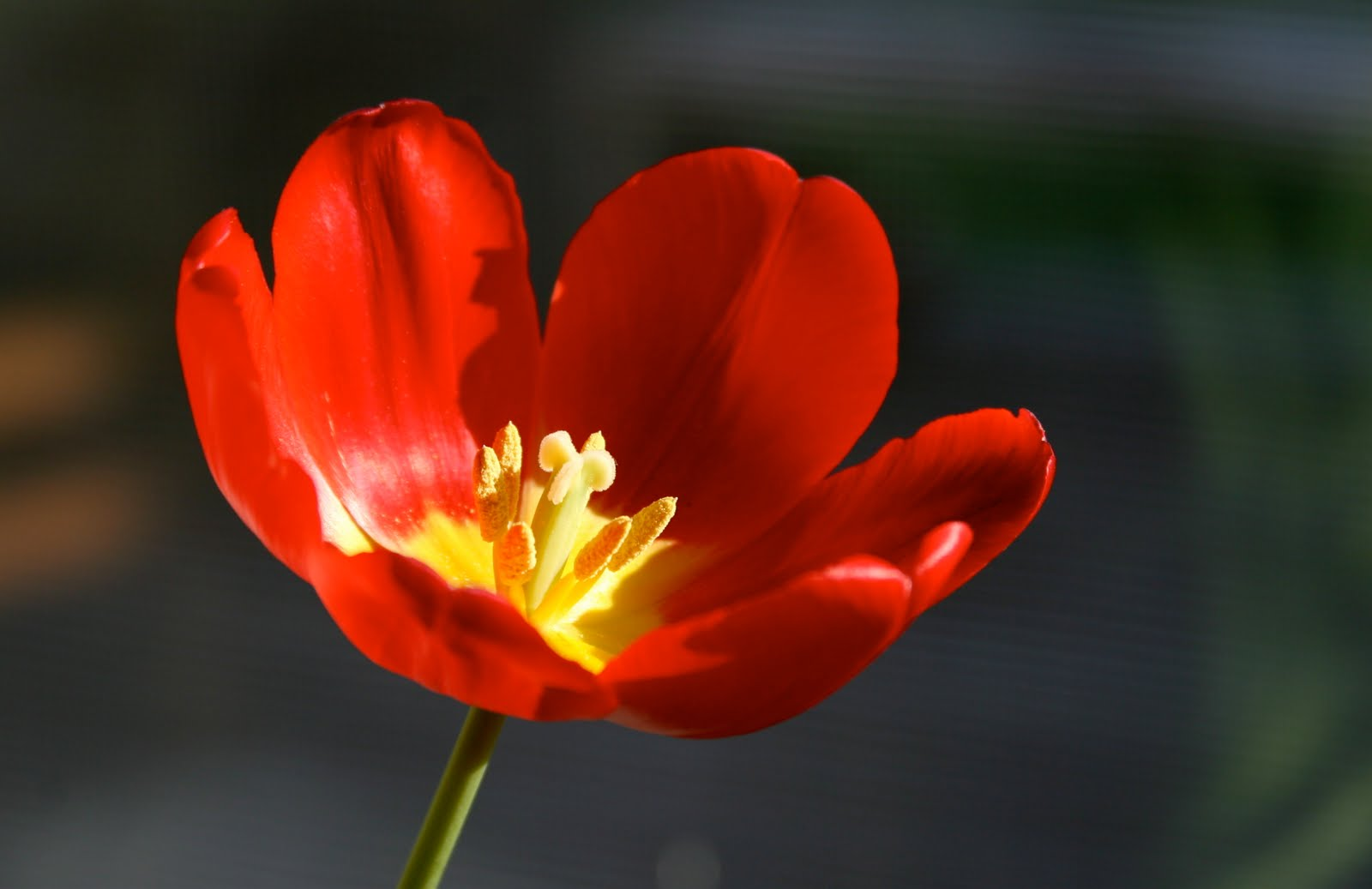 Фото одного цветка тюльпана