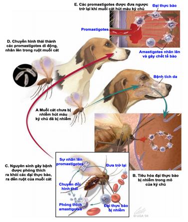 Hình 1: Quá trình phát sinh bệnh do  Leishmania