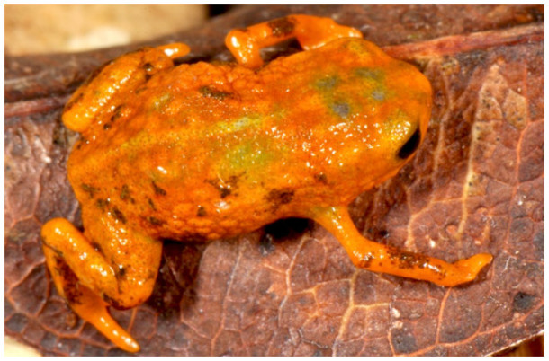 Sete pequenas espécies de rãs descobertas no Brasil