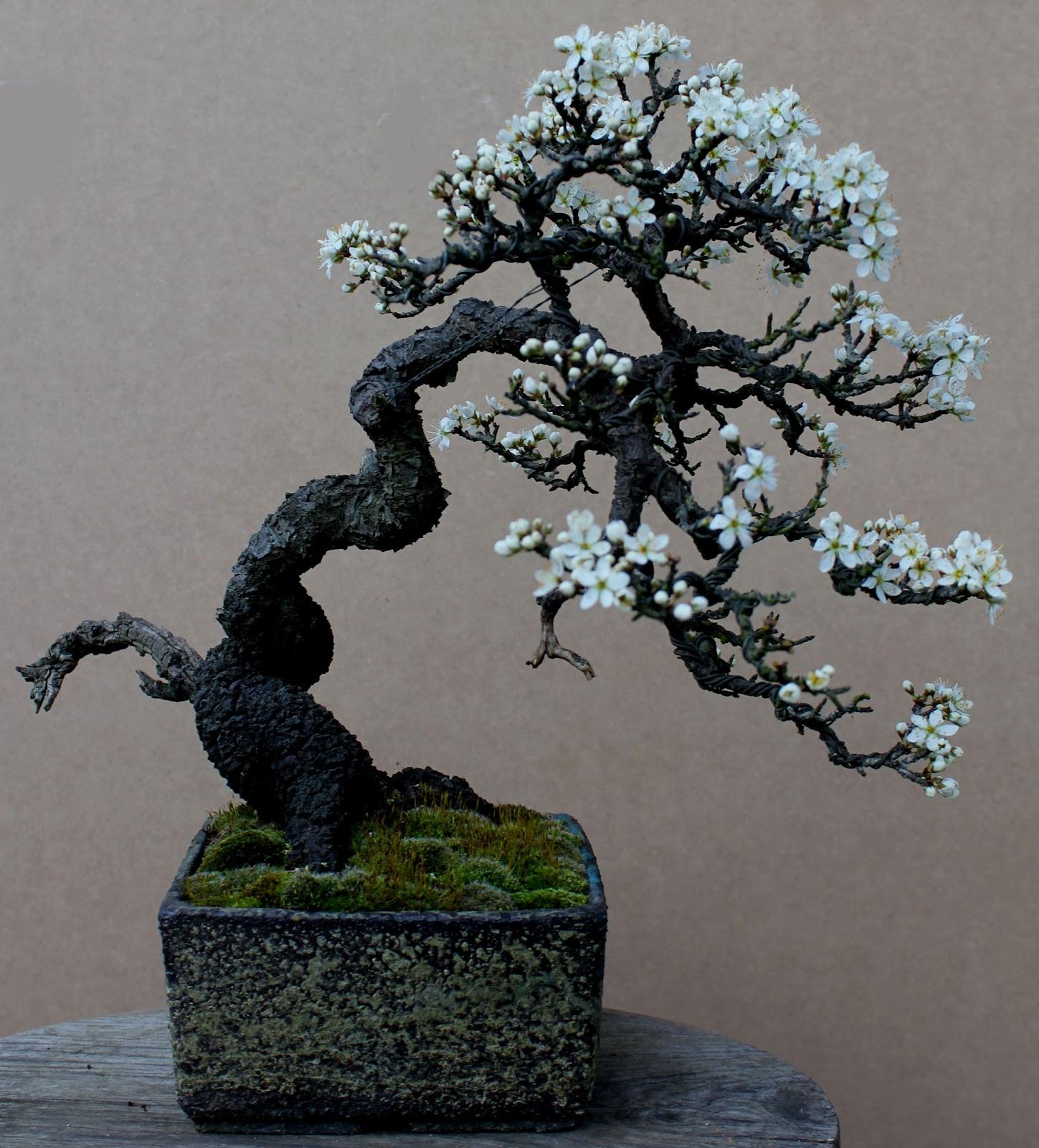 Wildwoodbonsai Prunus Spinosa