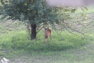 photo of whitetail doe under a pear tree