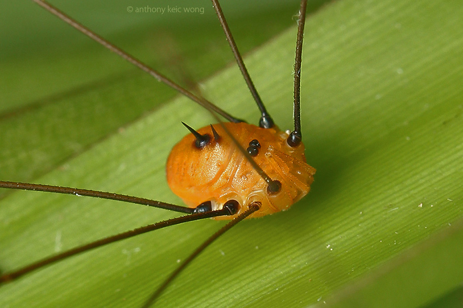 Orange Opiliones close up