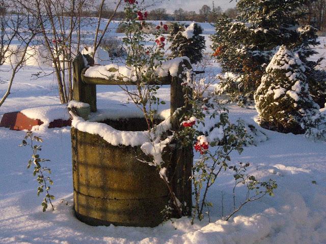 Róża przy studni w ogrodzie, która poradziła sobie ze śniegiem i mrozem