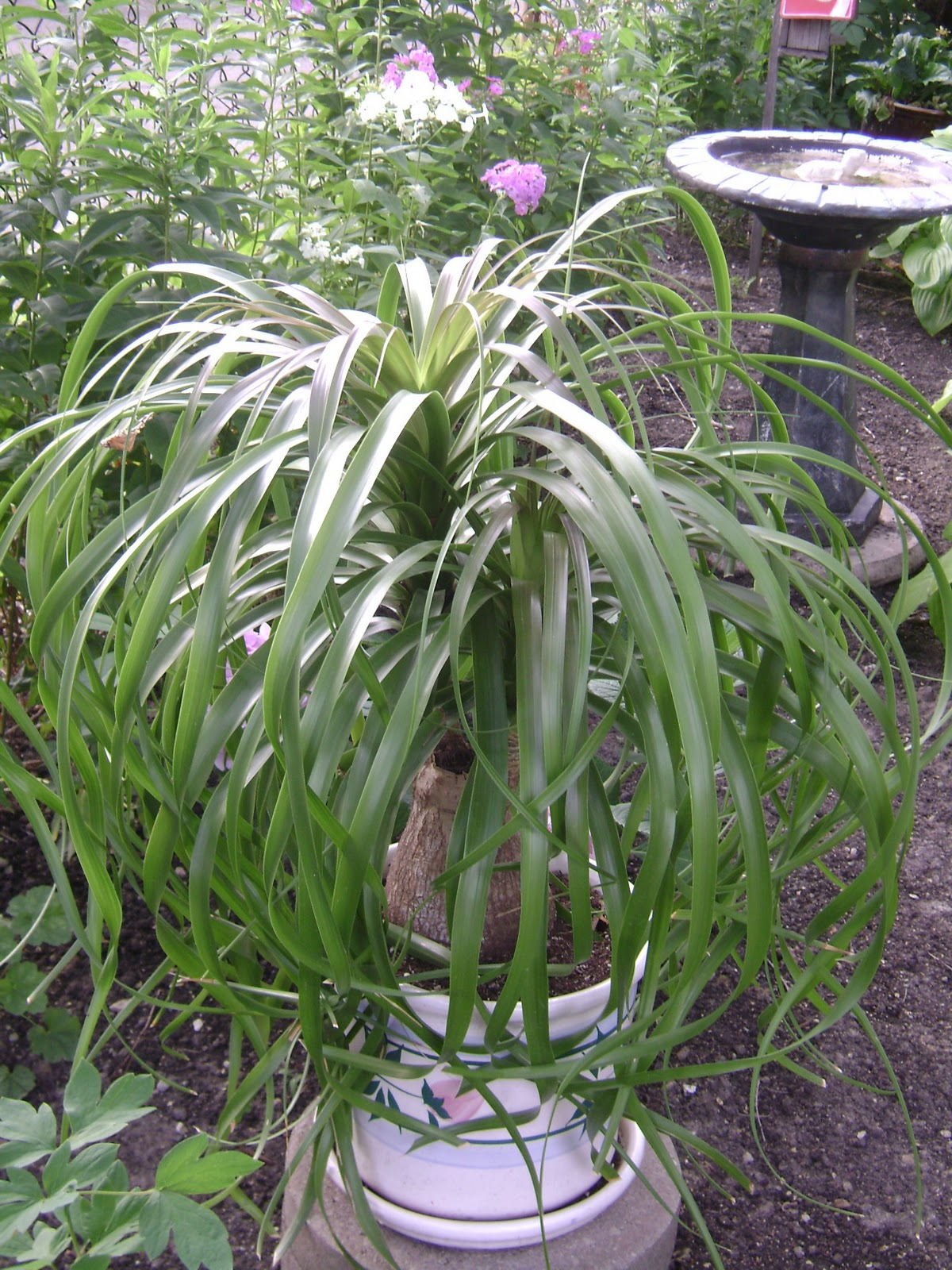 Pony tail palm (Beaucarnea recurvata)