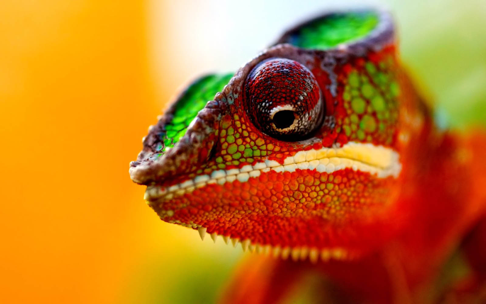 pictures of chameleon