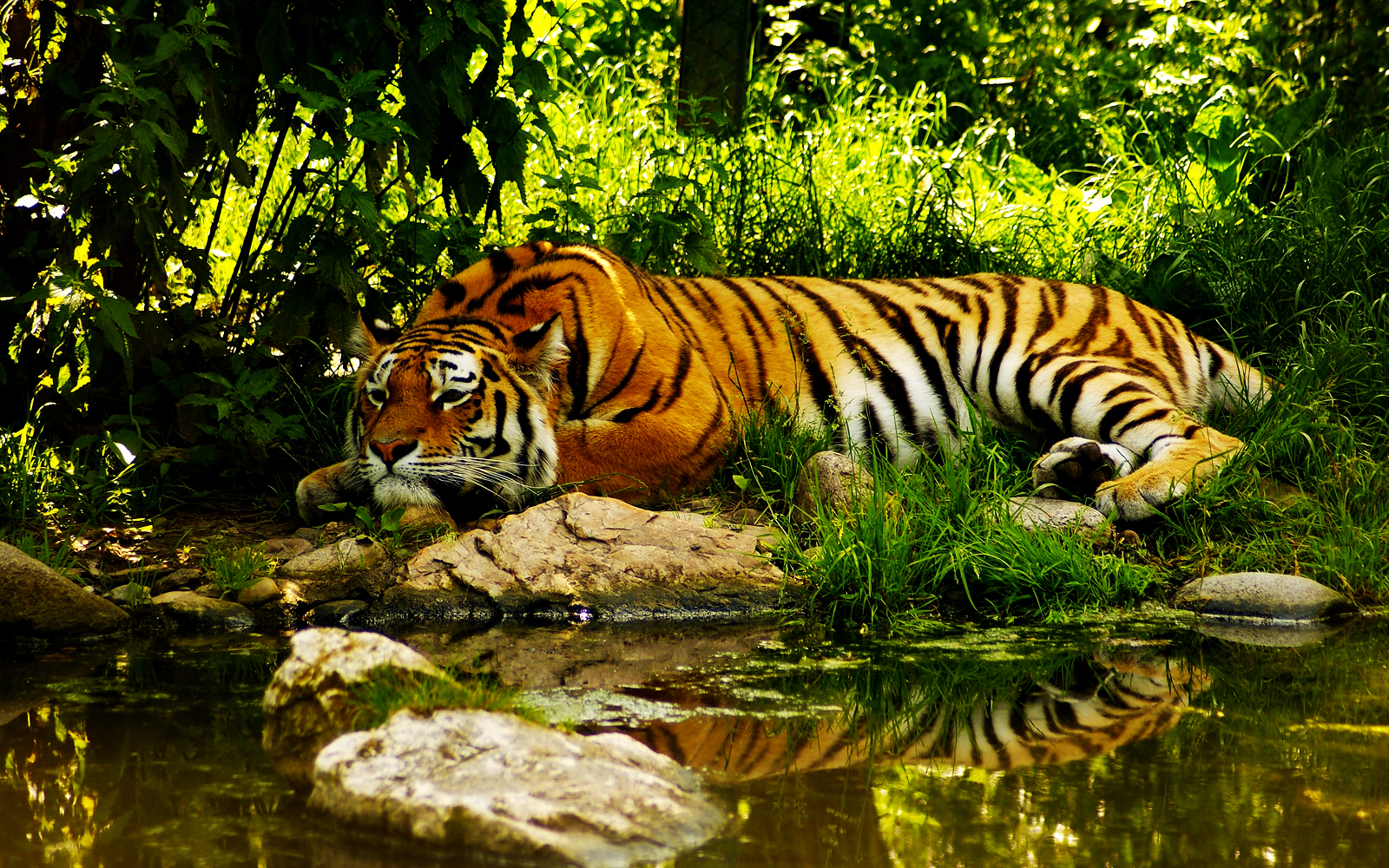 TIGER RESTING NEAR RIVER JUNGLE HD WALLPAPER VVALLPAPER