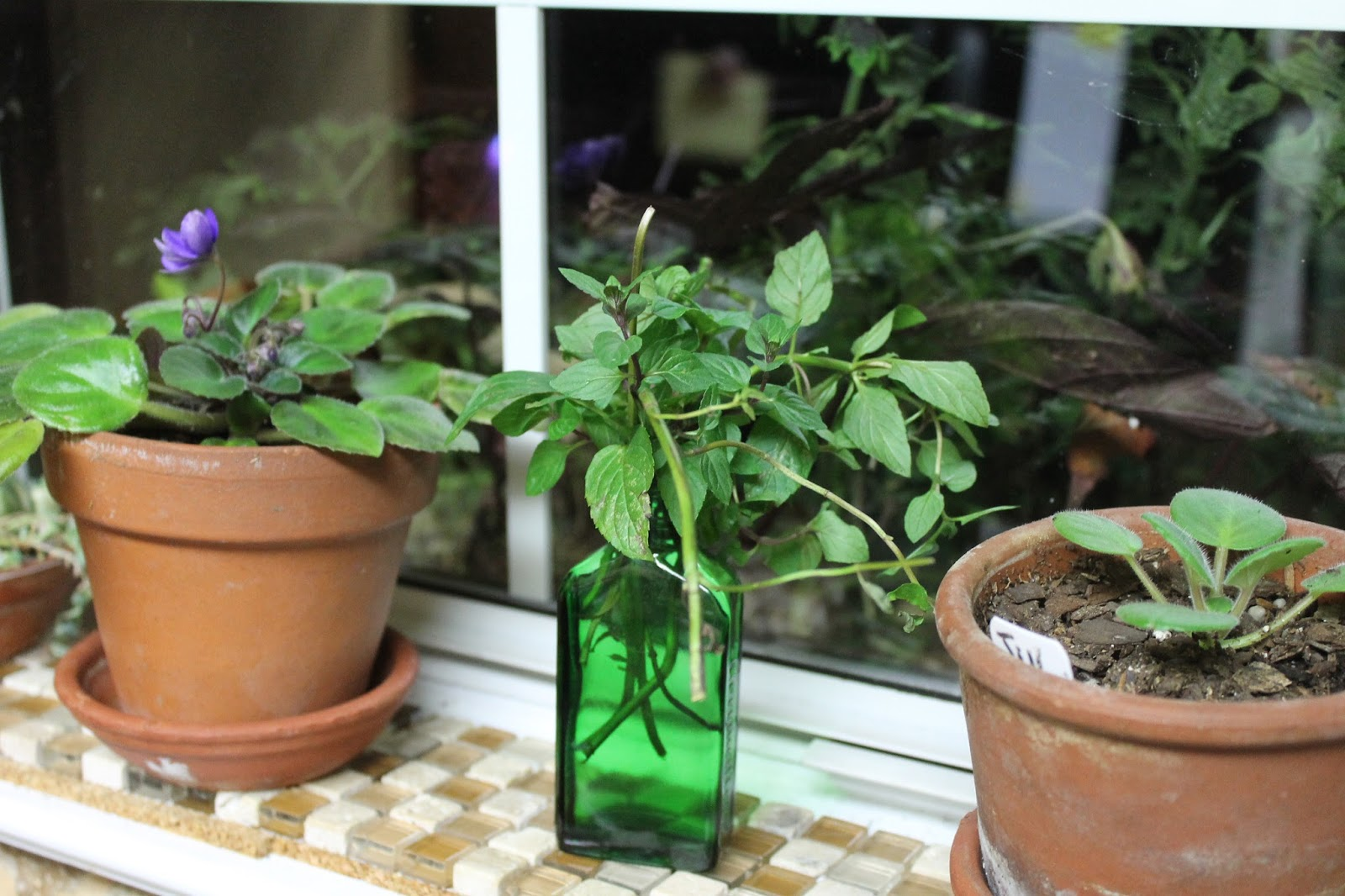 Kitchen window for plants - I Always Have Some Sort Of Plant Rooting In My East Facing Kitchen Window Right Now In Addition To The Sweet Potatoes I Have Mint Coleus And African