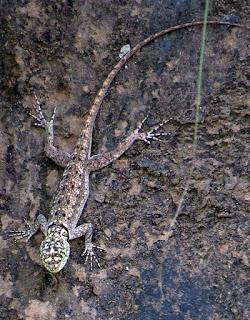 Tropidurus torquatus, Amazon Lava Lizard.