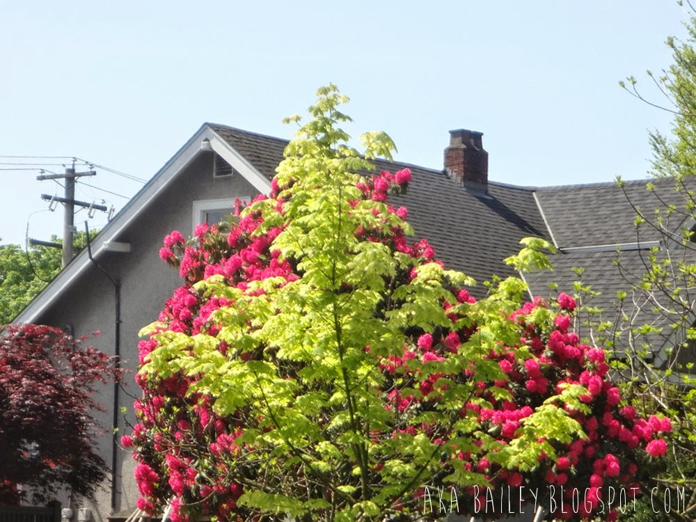 Bright pink flowers against a bright green tree