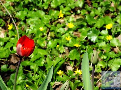 lalea rosie gradina botanica bucuresti