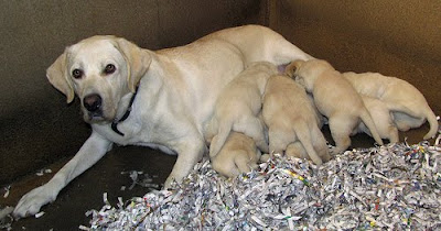 A litter of yellow Lab puppies