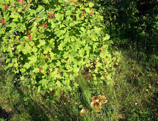25.08. В моей мини лесополосе за территорией дачного участка рядом с калиной выросли грибочки!