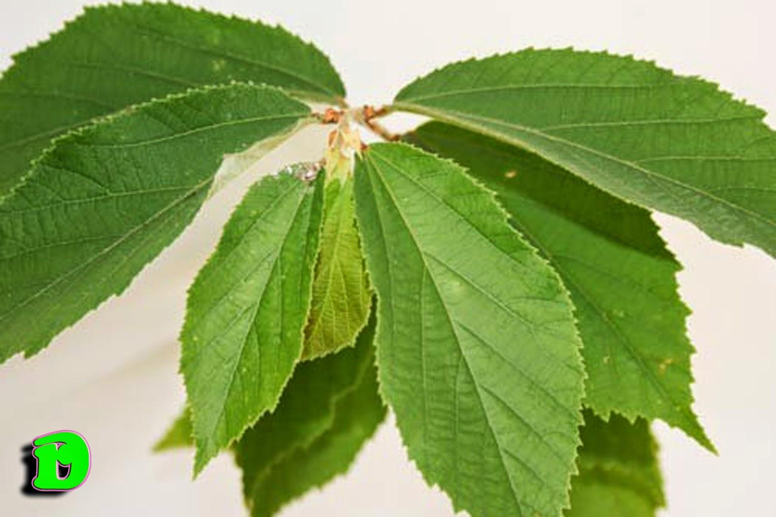 PLANTAS MEDICINAIS: AÇOITA CAVALO (Luehea grandiflora) #08C902 1600x1066